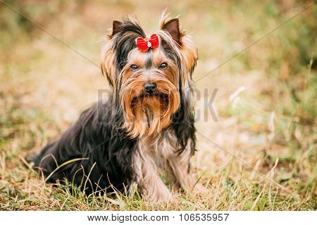 Yorkshire Terrier Small Dog Outdoor