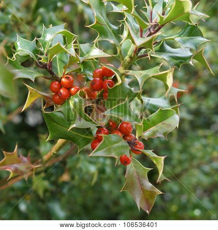 Ilex aquifolium with red berries