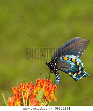 Battus philenor, Pipevine Swallowtail butterfly, feeding on an orange Butterflyweed
