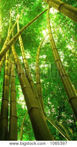 Forest Bamboo Trees