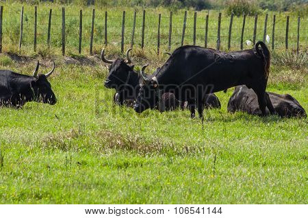 Black Bulls On A Ranch In Camargue