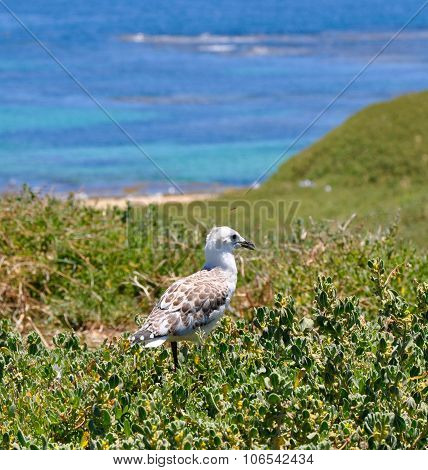 Gull on Penguin Island Overlooking the Indian Ocean