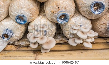 Pleurotus Sajor-caju Mushroom Grow Up In A Farm