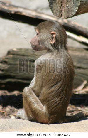 Baboon 22