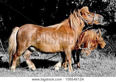 Two pony