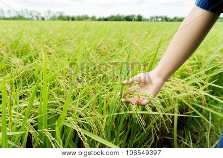 Child hand touch rice panicle