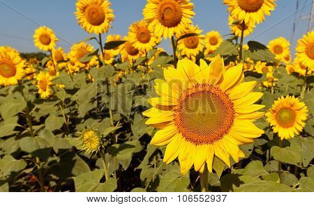 Vibrant sunflower standing erect on a sunny morning