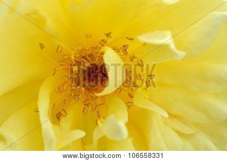 Beautiful Old-fashioned Yellow Rose.