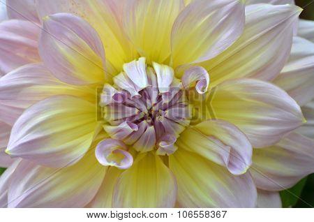 White, Yellow And Purple Dahlia Close-up