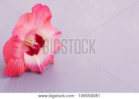 Single Gladiolus flower on light violet wooden board, with copy space. Image processed for dreamy look.