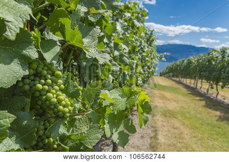 Pinot Noir Grapes In Vineyard Okanagan British Columbia Canada