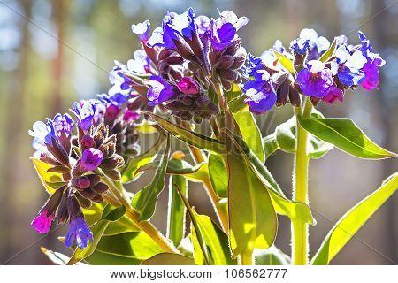 Medunitsa softest (Latin Pulmonaria mollis)