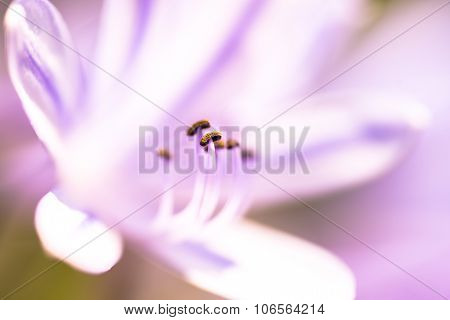 Purple Lily With Pistil In Focus