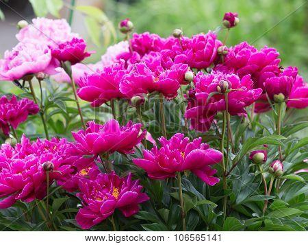 Delicate Flowers Bright Garden Peonies