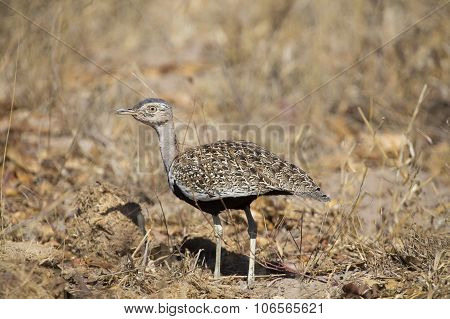 A Red Crested Korhaan Walking Camouflaged Among Dry Grasses