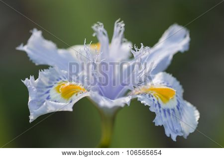 Close Up Of Yellow And Blue Iris Flowers