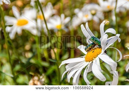 Emerald Gold Bugs Fighting On A White Flower