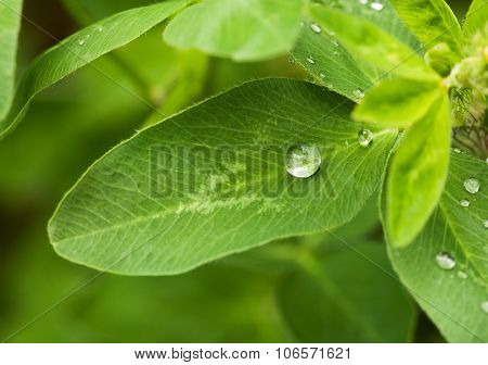 Trefoil Leaf And Drop