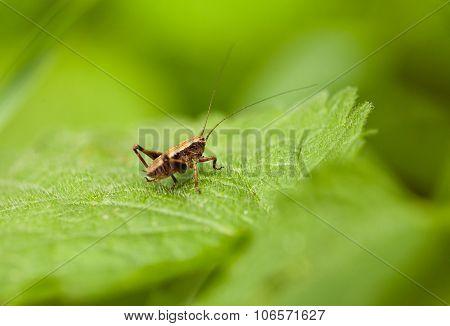 Grasshopper Nymph On Leaf