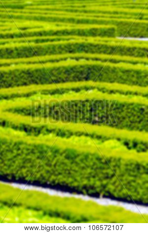 Green Hedge Labyrinth In French Garden