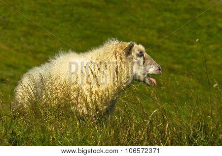 Portrait of icelandic sheep on Nupstadur farm