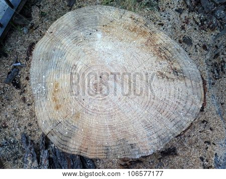 Age Rings On Tree Trunk