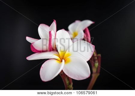 charming isolated blossom flowers frangipani