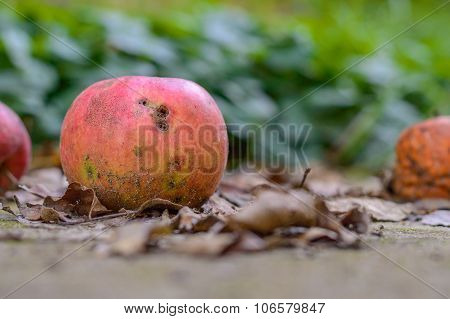 Rotten Apple Fallen On The Ground Eaten By Worms