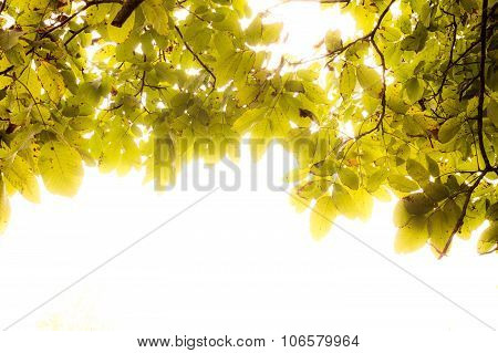 Artistic Autumn Green And Yellow Tree Leaves From Inside, With Glowing White Empty Space