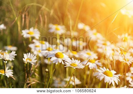 Blossoming Camomiles On A Summer Meadow Lit With The Sun