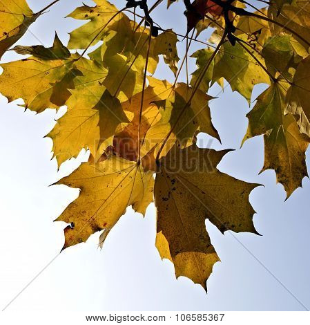 leaves of a maple tree