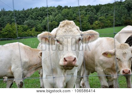 Cows, Bulls And Calves Grazing On Pasture On A Ranch .livestock Feed On Traditional Rural Farm Yard,