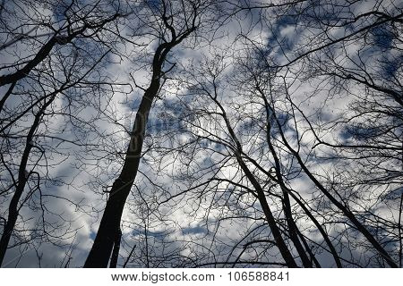 Tree Tops In Winter Deciduous, Dark Cloudy Background
