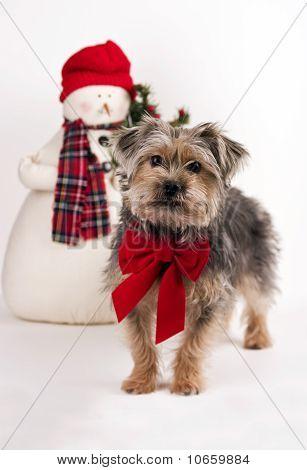 Christmas Yorkie-poo