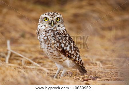 Burrowing Owl Standing On The Ground, Huacachina, Peru