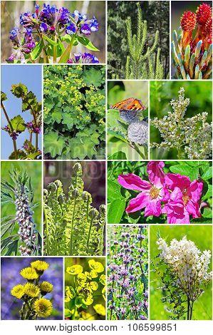 Wild medicinal plants of Siberia