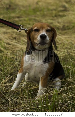 Beagle Dog Sitting On A Leash.