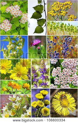 Wild medicinal plants in Siberia