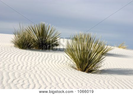 Yuccas At White Sands