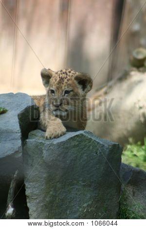 Lions 54