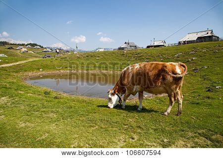 Grass Fed Cow On Velika Planina