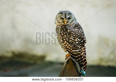 The rufous-legged owl - Strix rufipes - is a medium sized owl with no ear tufts