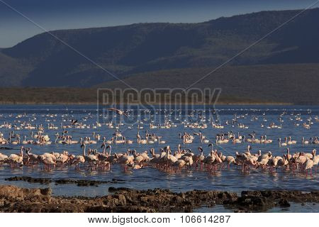 Flamingo: Greater and Lesser Flamingoes in East African Rift Valley