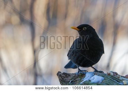 Mr Blackbird And The Peanuts