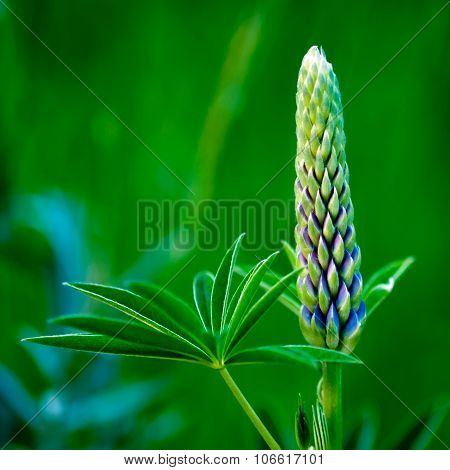 Bud And Leaf Of A Lupin
