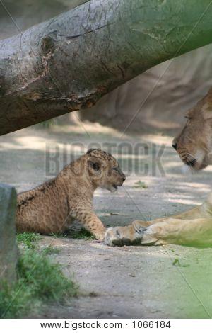 Lions 51