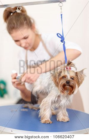 Yorkshire terrier is being groomed.