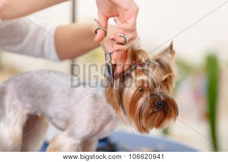 Yorkshire terrier in the process of changing pet hairstyle.
