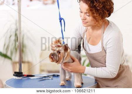 Yorkshire terrier is being groomed by professional.