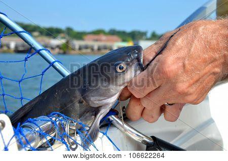 Catfhish caught in net